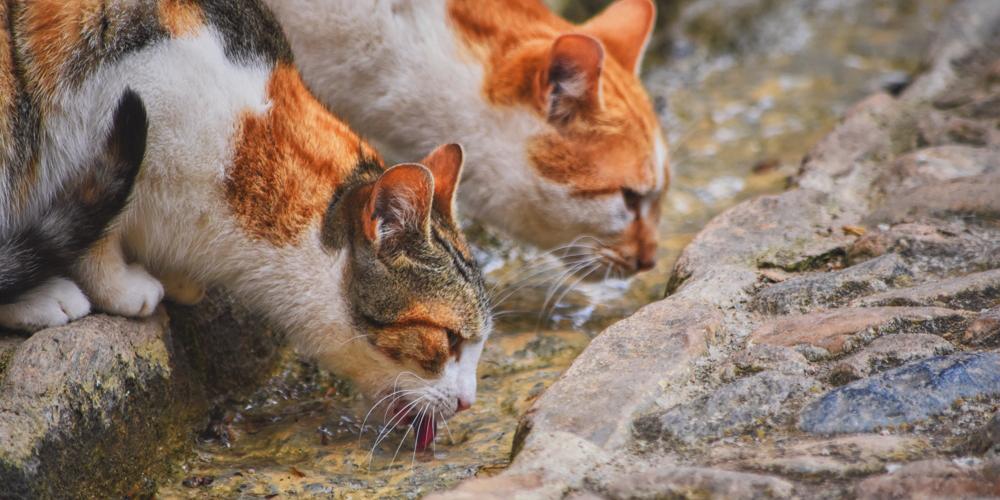 Zwei Katzen trinken Wasser aus Wasserrinnsal
