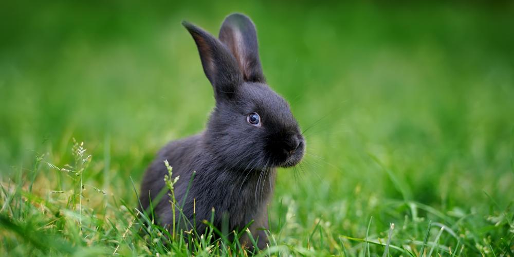 schwarze Kaninchen auf einer Wiese