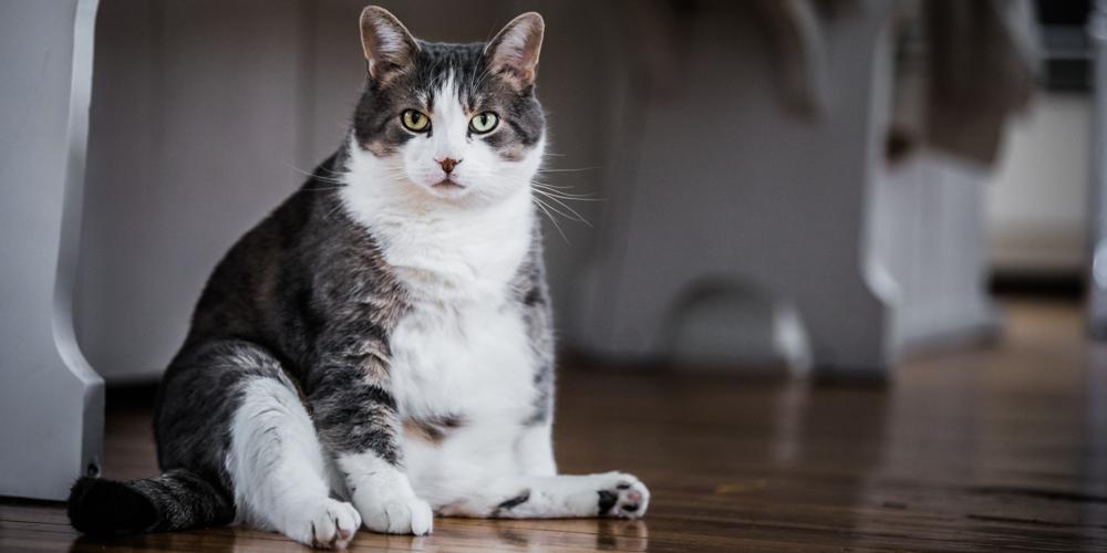 Sitzende übergewichtige Katze